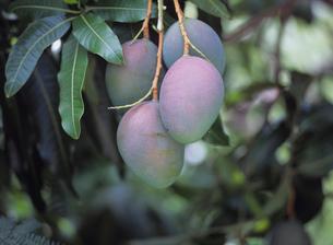 木に成るマンゴーの写真素材 [FYI03883451]