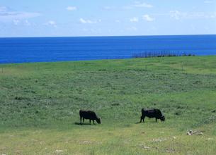 牧場と和牛 石垣島の写真素材 [FYI03883616]