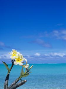 海辺の白のプルメリア ボラボラ島の写真素材 [FYI03883684]