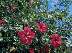 ハイビスカス ボラボラ島の写真素材 [FYI03883720]