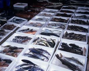 魚市場に並んだ魚 氷見市の写真素材 [FYI03883763]