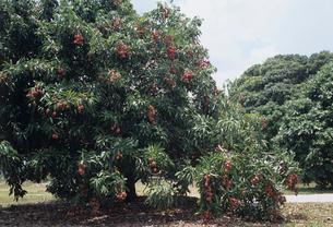 ライチの木の写真素材 [FYI03884192]