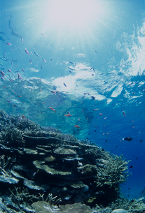 水中のサンゴとハナダイの写真素材 [FYI03884203]