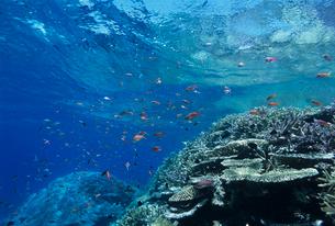 水中のサンゴとハナダイの写真素材 [FYI03884209]