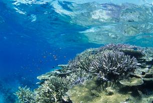 水中のサンゴとハナダイの写真素材 [FYI03884210]