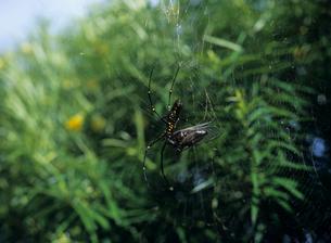 クマゼミを捕らえた女郎グモの写真素材 [FYI03884215]