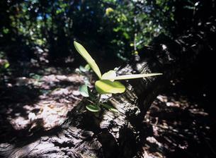 倒木から出た新芽の写真素材 [FYI03884286]