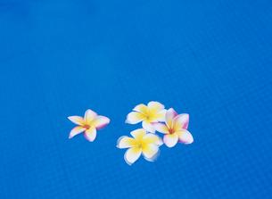 プールに浮かんだプルメリアの写真素材 [FYI03884423]