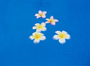 プールに浮かんだプルメリアの写真素材 [FYI03884428]