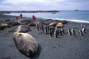 ロイヤルペンギンとミナミゾウアザラシ マッコーリー島の写真素材 [FYI03884956]