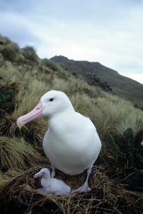 ロイヤルアホウドリの親子  マッコーリー島の写真素材 [FYI03884957]