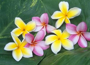 プルメリア ハワイの写真素材 [FYI03884992]