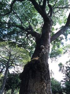 イアーポッドの大木 オアフ島の写真素材 [FYI03885070]