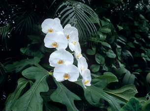 白いランの花の写真素材 [FYI03885079]