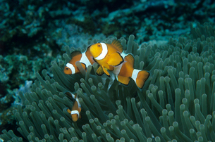 カクレクマノミ 西表島の写真素材 [FYI03885286]