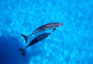 海面のイルカの親子の写真素材 [FYI03885455]