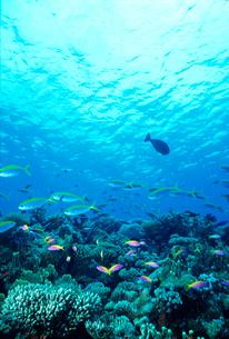 サンゴと熱帯魚の写真素材 [FYI03885471]