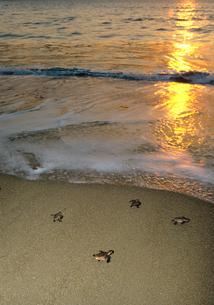 海に帰る生まれたばかりのアカウミガメの子供の写真素材 [FYI03885592]