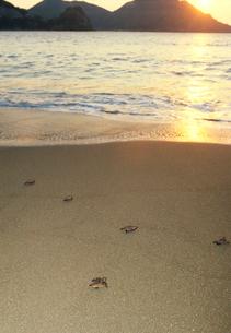 海に帰る生まれたばかりのアカウミガメの子供の写真素材 [FYI03885594]