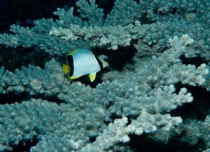 ヤリカタギの幼魚の写真素材 [FYI03885678]