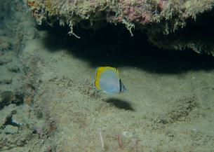 コクテンカタギの幼魚の写真素材 [FYI03885680]