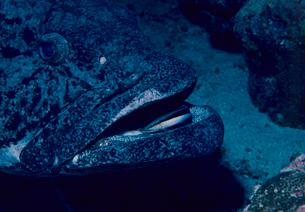 カスリハタをクリーニングするホンソメワケベラの写真素材 [FYI03885918]