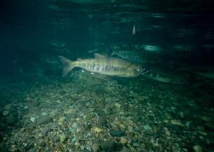 川を上るサケの写真素材 [FYI03886046]