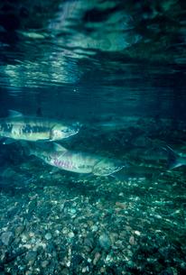 川を上るサケの写真素材 [FYI03886052]