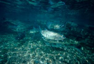 川を上るサケの写真素材 [FYI03886056]