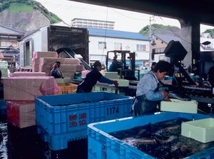 水揚げされたカツオの出荷作業の写真素材 [FYI03886547]