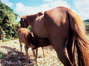 授乳をする馬の親子の写真素材 [FYI03886658]