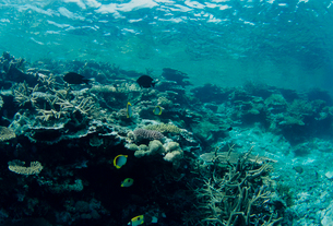 チョウチョウウオとサンゴ  八重干瀬 宮古島の写真素材 [FYI03886698]