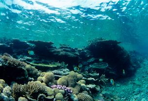 チョウチョウウオとサンゴ  八重干瀬 宮古島の写真素材 [FYI03886699]