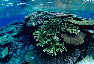 浅瀬のサンゴ  八重干瀬 宮古島の写真素材 [FYI03886701]