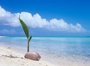 ビーチのヤシの新芽の写真素材 [FYI03886755]
