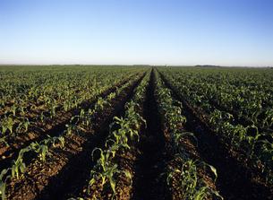 植えたばかりのトウモロコシ畑 フロリダの写真素材 [FYI03886977]