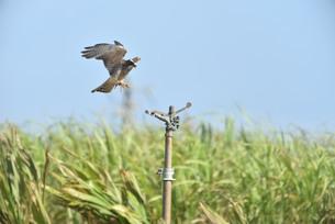 野鳥/鷹の写真素材 [FYI03892791]