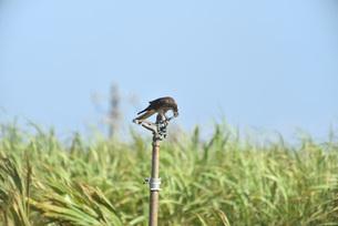 野鳥/鷹の写真素材 [FYI03892974]