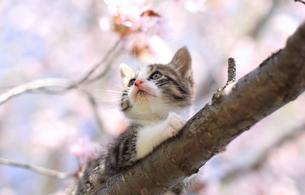 子猫と桜の写真素材 [FYI03897166]