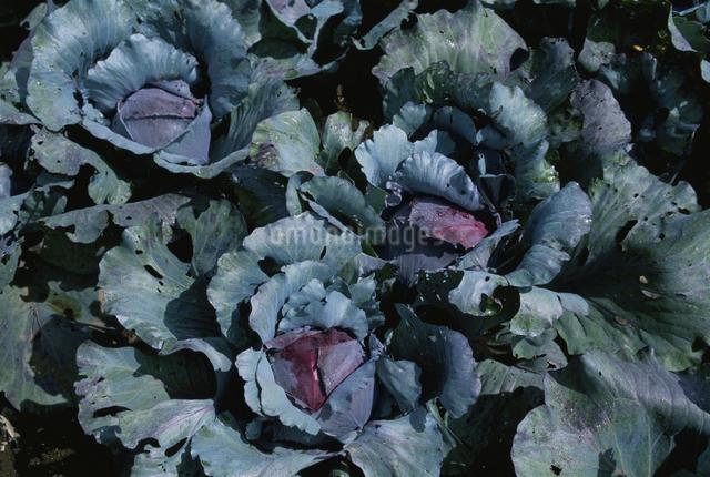 紫キャベツ(畑)の写真素材 [FYI03904235]