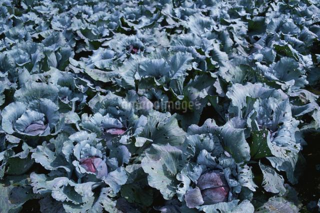 紫キャベツ(畑)の写真素材 [FYI03904236]
