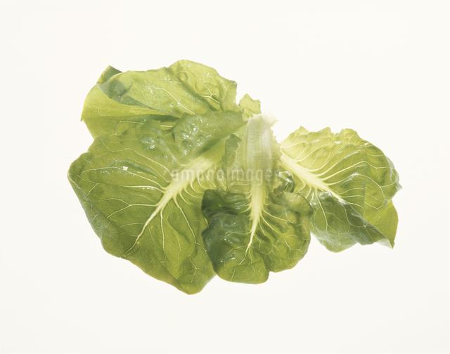 サラダ菜の写真素材 [FYI03904383]