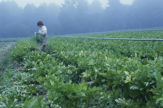 セロリ(畑)の写真素材 [FYI03904601]