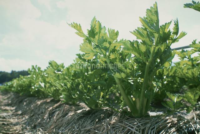 セロリ(畑)の写真素材 [FYI03904645]