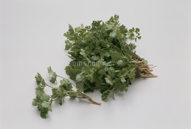 香菜の写真素材 [FYI03904877]