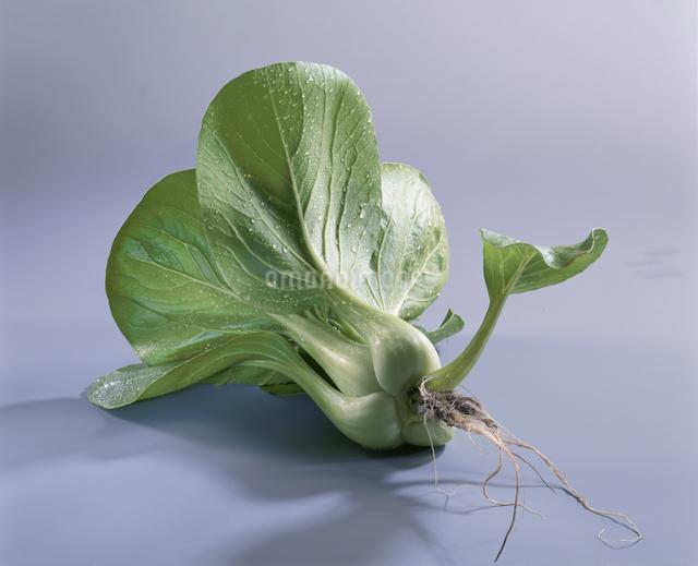 チンゲン菜の写真素材 [FYI03905114]