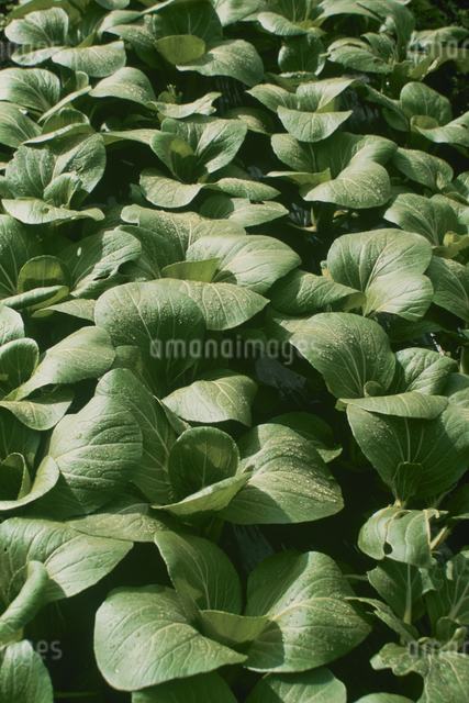 チンゲン菜の写真素材 [FYI03905159]