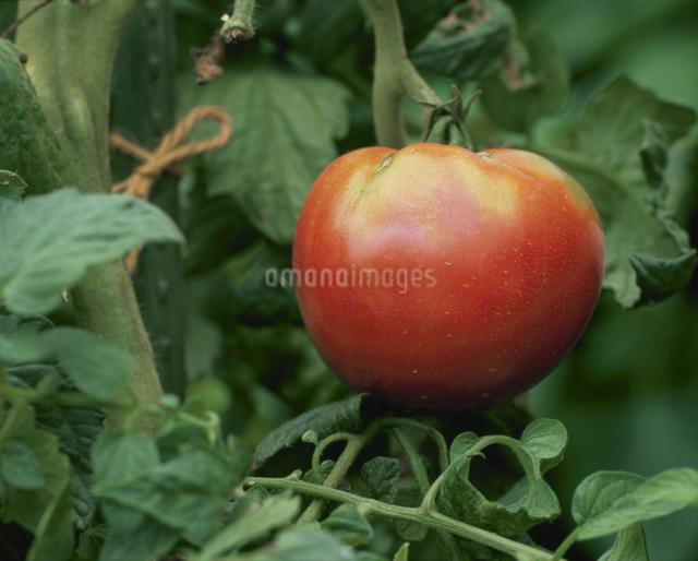 トマトの写真素材 [FYI03905205]