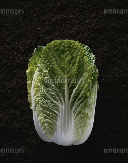 白菜の写真素材 [FYI03905282]