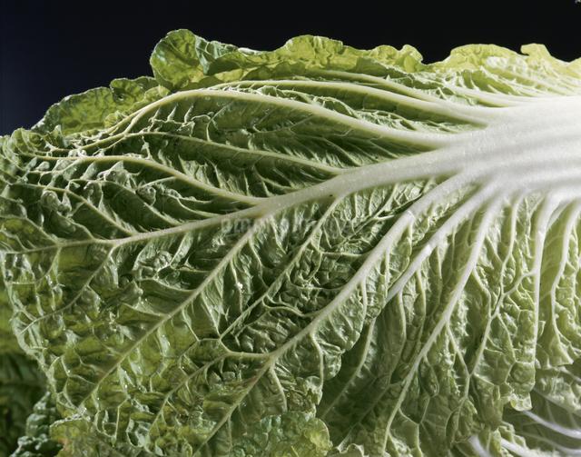 白菜の写真素材 [FYI03905286]